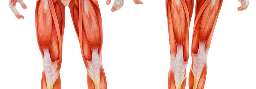 fibra muscular 3