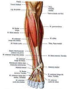 estrutura do pé (1)