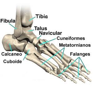 estrutura do pé (10)