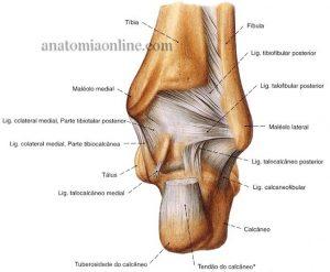 estrutura do pé (11)