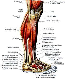 estrutura do pé (12)