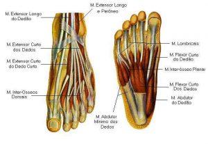 estrutura do pé (3)