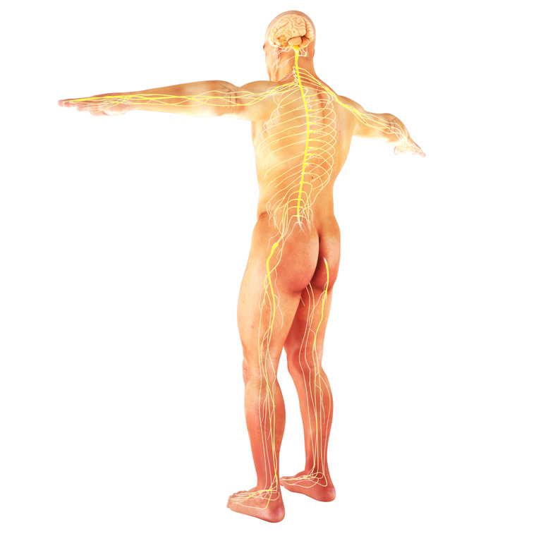 Sistema Nervoso Método Hipopressivo
